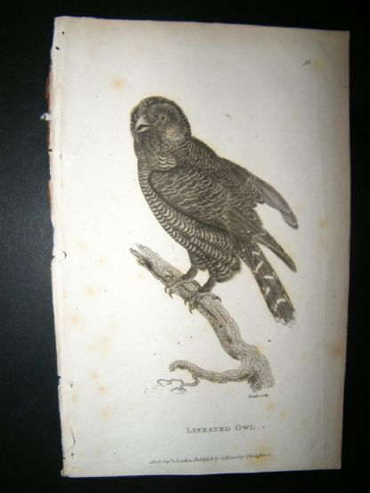 Shaw C1810 Antique Bird Print. Lineated Owl | Albion Prints